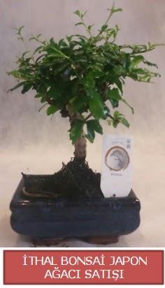 İthal küçük boy minyatür bonsai ağaç bitkisi  Kocaeli çiçekçiler