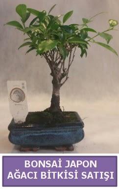 İthal Bonsai japon ağacı bitkisi satışı  hediye çiçek yolla