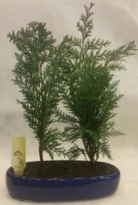 SINIRLI SAYIDA Selvi Ağacı bonsai ikili  Kocaeli çiçekçiler