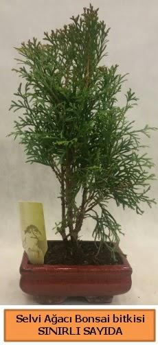 Selvi ağacı bonsai japon ağacı bitkisi  Kocaeli internetten çiçek siparişi