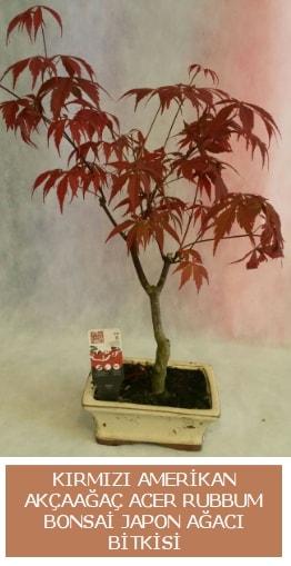 Amerikan akçaağaç Acer Rubrum bonsai  Kocaeli güvenli kaliteli hızlı çiçek