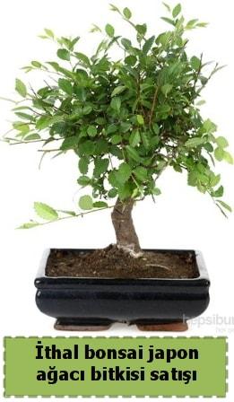 İthal bonsai saksı çiçeği Japon ağacı satışı  hediye çiçek yolla