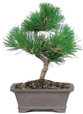 Çam ağacı bonsai japon ağacı bitkisi  Kocaeli internetten çiçek satışı