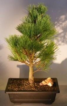 Çam ağacı japon ağacı bitkisi bonsai  Kocaeli çiçekçiler