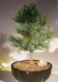 Çam ağacı bonsai bitkisi satışı  Kocaeli online çiçek gönderme sipariş