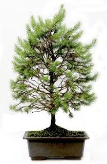 *** STOKTA YOK - Çam ağacı bonsai bitkisi satışı  kaliteli taze ve ucuz çiçekler