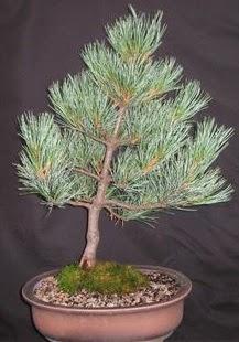 Bonsai çam ağacı japon ağacı bitkisi  Kocaeli uluslararası çiçek gönderme
