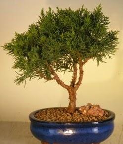 Servi çam bonsai japon ağacı bitkisi  çiçek siparişi sitesi