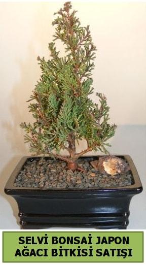 Selvi çam japon ağacı bitkisi bonsai  Kocaeli çiçekçiler