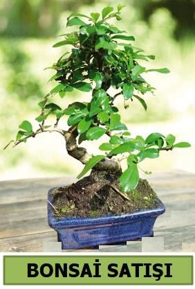 Çam bonsai japon ağacı satışı  Kocaeli internetten çiçek siparişi