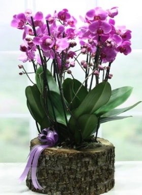 Kütük içerisinde 6 dallı mor orkide  Kocaeli online çiçek gönderme sipariş