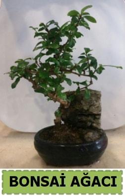 Bonsai ağacı japon ağacı satışı  Kocaeli cicek , cicekci