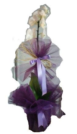 Tek dallı beyaz orkide süper kalite ithal  Kocaeli uluslararası çiçek gönderme