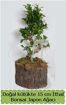 Doğal kütükte İthal bonsai japon ağacı  Kocaeli internetten çiçek satışı