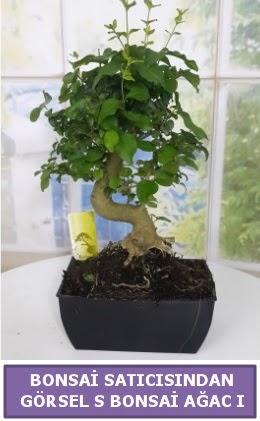 S dal eğriliği bonsai japon ağacı  Kocaeli internetten çiçek siparişi