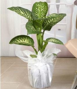 Tropik saksı çiçeği bitkisi  Kocaeli internetten çiçek siparişi