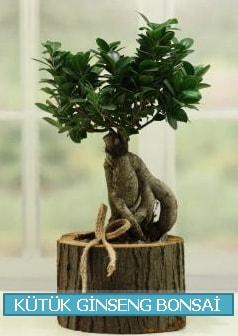 Kütük ağaç içerisinde ginseng bonsai  Kocaeli çiçekçi mağazası