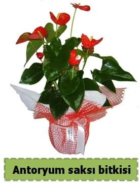 Antoryum saksı bitkisi satışı  Kocaeli çiçek siparişi vermek