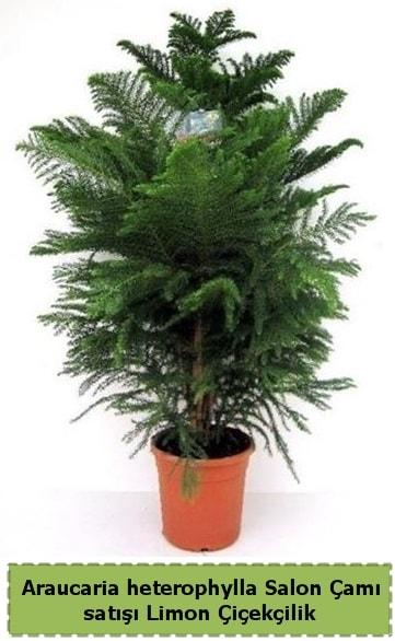 Salon Çamı Satışı Araucaria heterophylla  Kocaeli internetten çiçek siparişi
