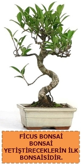 Ficus bonsai 15 ile 25 cm arasındadır  çiçek siparişi sitesi