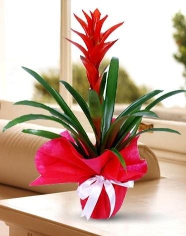 Guzmanya Saksı Çiçeği  çiçek siparişi sitesi