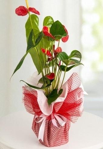 Anthurium Saksı Çiçeği  Kocaeli cicek , cicekci