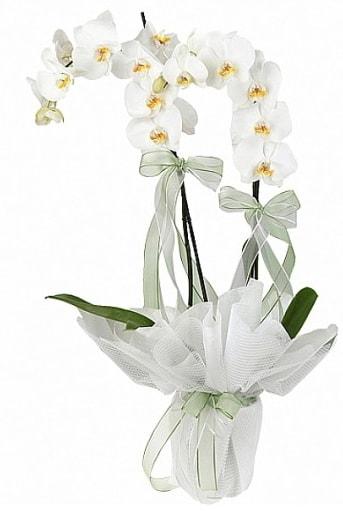 Çift Dallı Beyaz Orkide  Kocaeli online çiçekçi , çiçek siparişi