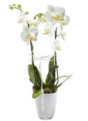 2 dallı beyaz seramik beyaz orkide saksısı  Kocaeli çiçekçi mağazası
