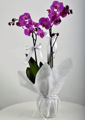 Çift dallı saksıda mor orkide çiçeği  çiçek online çiçek siparişi