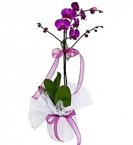 Tek dallı saksıda ithal mor orkide çiçeği  Kocaeli anneler günü çiçek yolla