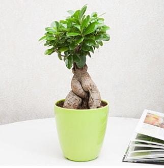 Ficus Ginseng Bonsai  yurtiçi ve yurtdışı çiçek siparişi