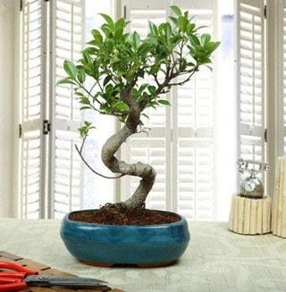 Amazing Bonsai Ficus S İthal  Kocaeli hediye sevgilime hediye çiçek