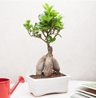 Exotic Ficus Bonsai ginseng  Kocaeli çiçek gönderme sitemiz güvenlidir