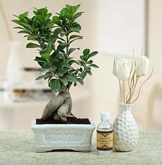 Ginseng ficus bonsai  Kocaeli anneler günü çiçek yolla
