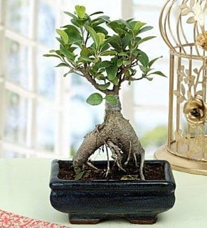Appealing Ficus Ginseng Bonsai  Kocaeli online çiçekçi , çiçek siparişi