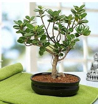 Lovely Ficus Iceland Bonsai  Kocaeli online çiçekçi , çiçek siparişi