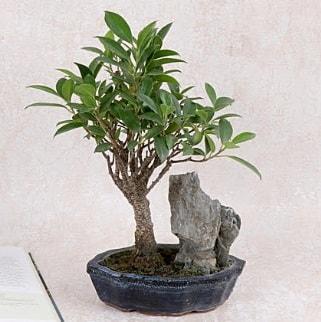 Japon ağacı Evergreen Ficus Bonsai  Kocaeli çiçekçi mağazası