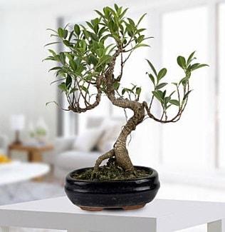 Gorgeous Ficus S shaped japon bonsai  Kocaeli çiçek satışı