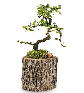 Doğal kütükte S bonsai ağacı  Kocaeli internetten çiçek siparişi