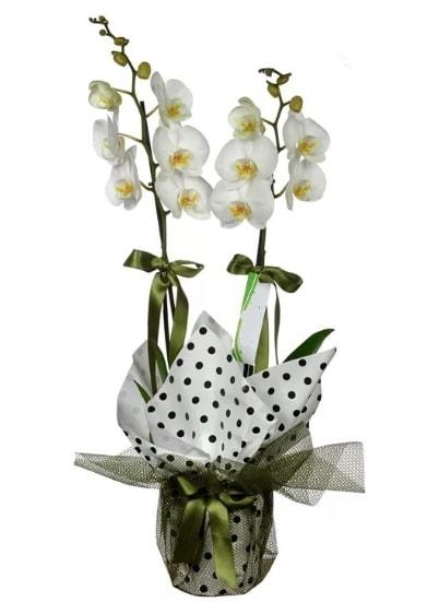 Çift Dallı Beyaz Orkide  yurtiçi ve yurtdışı çiçek siparişi