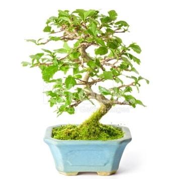S zerkova bonsai kısa süreliğine  hediye çiçek yolla