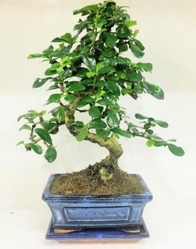 S Bonsai japon ağacı bitkisi  Kocaeli güvenli kaliteli hızlı çiçek