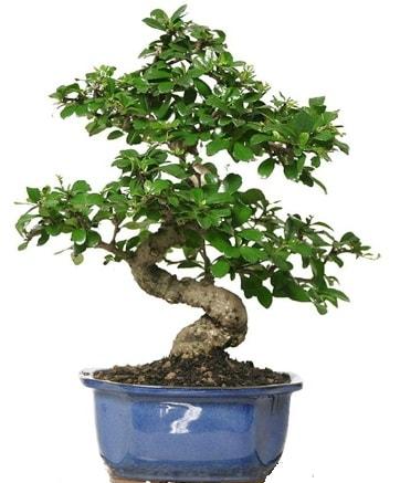 21 ile 25 cm arası özel S bonsai japon ağacı  Kocaeli çiçekçiler