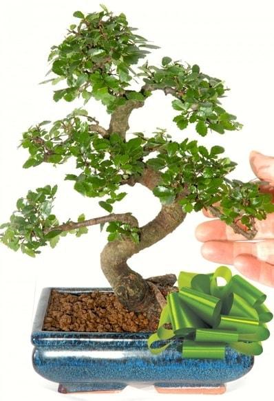 Yaklaşık 25 cm boyutlarında S bonsai  Kocaeli uluslararası çiçek gönderme