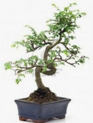 S gövde bonsai minyatür ağaç japon ağacı  Kocaeli internetten çiçek siparişi