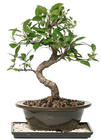 Altın kalite Ficus S bonsai  Kocaeli çiçekçiler  Süper Kalite