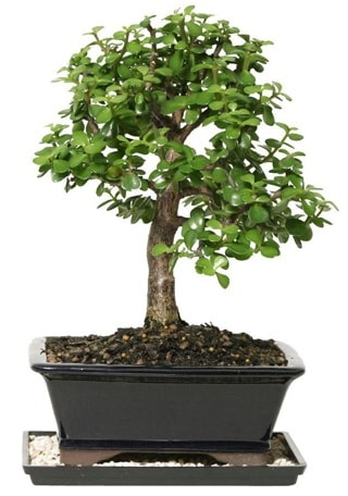 15 cm civarı Zerkova bonsai bitkisi  Kocaeli uluslararası çiçek gönderme