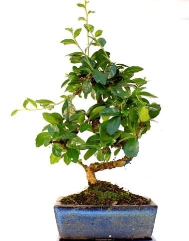 S gövdeli carmina bonsai ağacı  çiçek siparişi sitesi  Minyatür ağaç