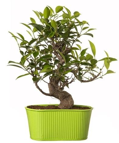 Ficus S gövdeli muhteşem bonsai  Kocaeli uluslararası çiçek gönderme