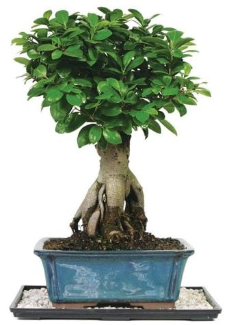 Bonsai Ginsing Grafted Ficus Bonsai  çiçek siparişi sitesi